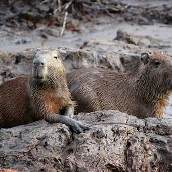 Capibara on Tambopata River