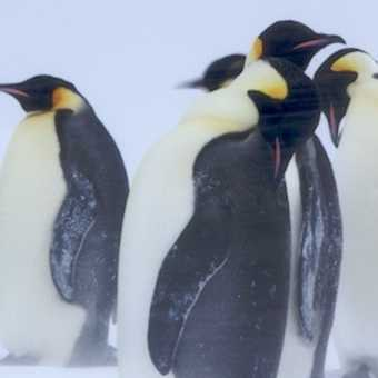Emperor penguins in the blizzard