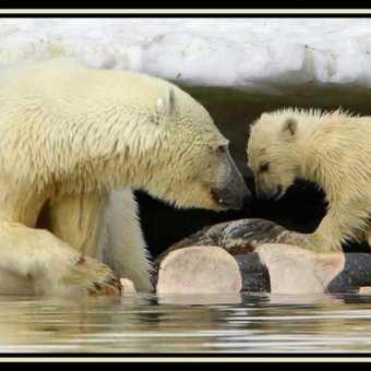 Polar Bear & Cub 2