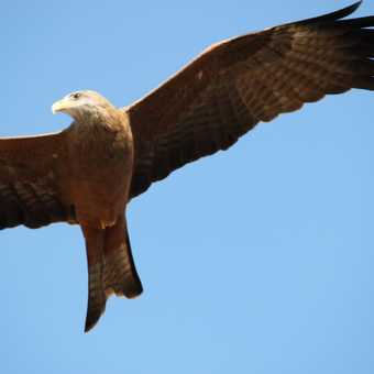 kite circling for food