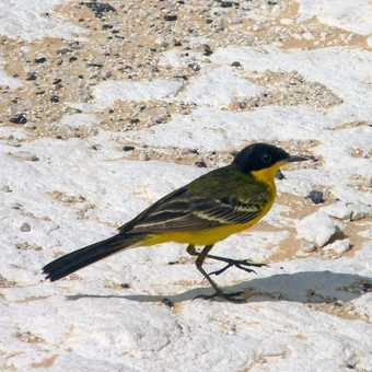 Black headed wagtail