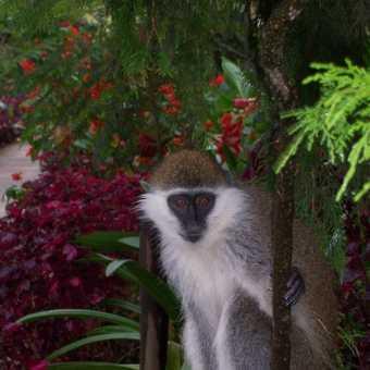 Velvet monkey Wendo Genet