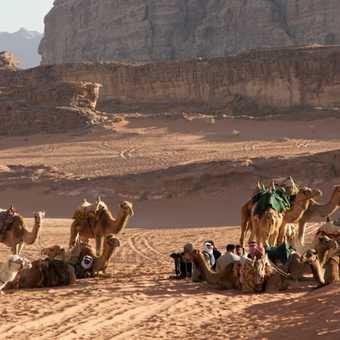 Camel, Wadi Rum