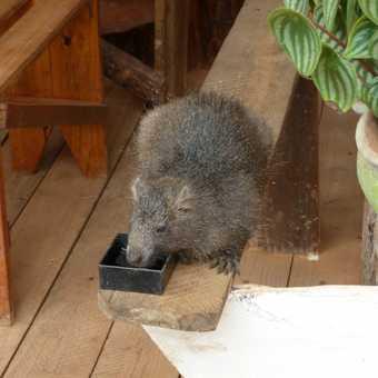 Tame tree rat