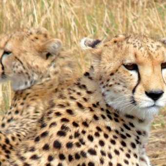 Cheetahs playing in the Masai Mara