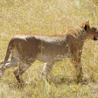 Serengeti ... stalking zebra