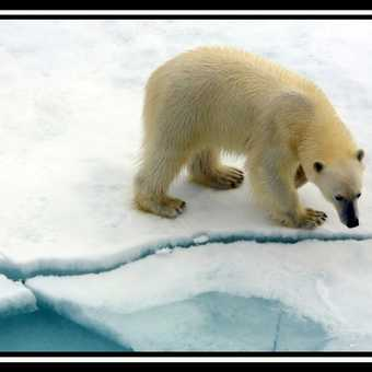 Polar Bear & Cub 9