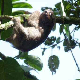 Baby three-toed sloth