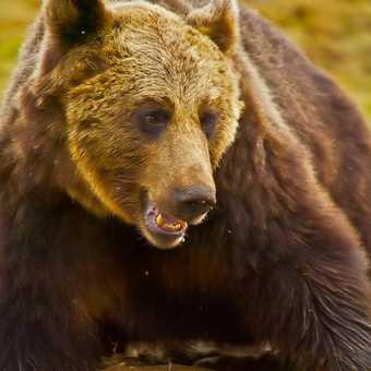 Finnish bear