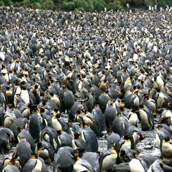 MacQuarie Isle : King Penguins