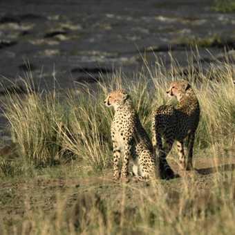Nervous cheetahs