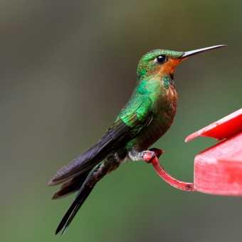 Hummingbird at feeding station, Santa Elena Cloud Forest Reserve (3)