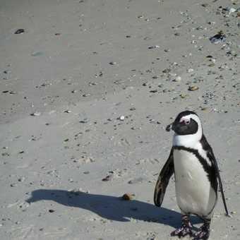 Boulders Beach = Penguins!!