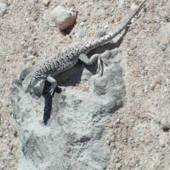 Saltflat lizard at Salar de Atacama
