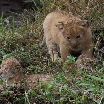 Two cubs who are a few hours old and a bigger cub who is a few weeks old