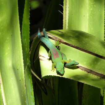 Cuddling Madagascan Geckos