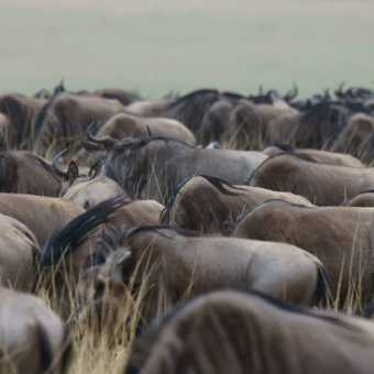 The great migration is under way - gathering of the herds in the Masai Mara