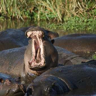 Hippos, Ngorogoro Crater