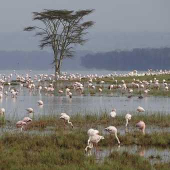 Sub adult male, Nakuru.