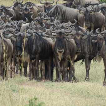 ZEBRAS ON THE MASAI