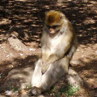 Contemplative Barbary macaque