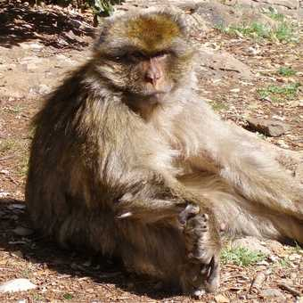Cool Barbary Macaque
