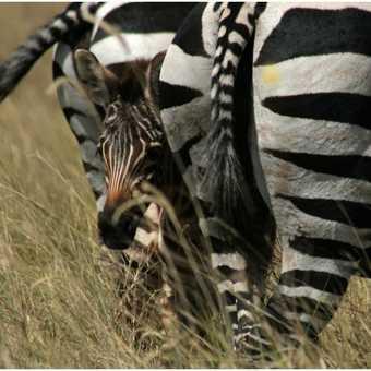 Hiding baby zebra