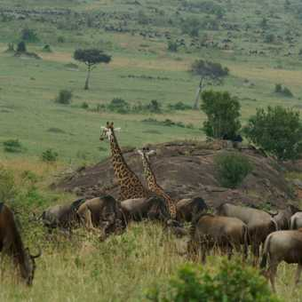 Giraffe and wildebeest mix it up in the Masai Mara
