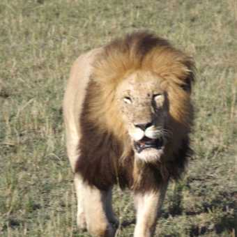 full grow african lion in masia mara