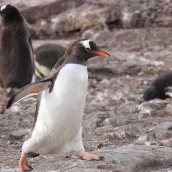 Gentoo penguin - neko harbour