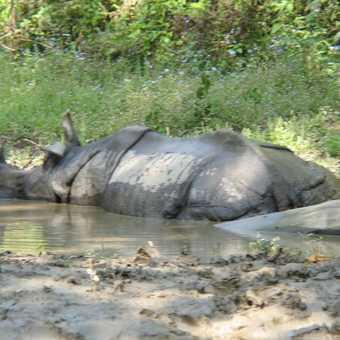 chitwan rhino