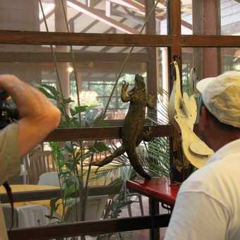Iguana trying to check in to Pachira Lodge, Tortuguero NP