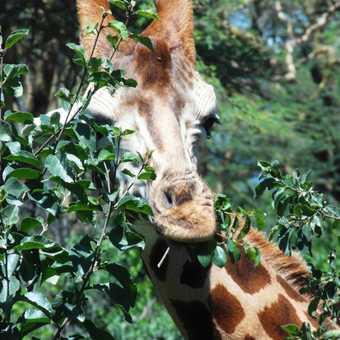 Lake Nakuru ... Rothschild giraffe