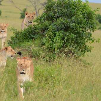 Lioness teaching cubs to hunt