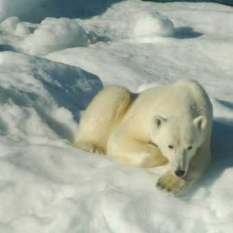 Bear 14 on ice