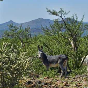 wild burros in the baja