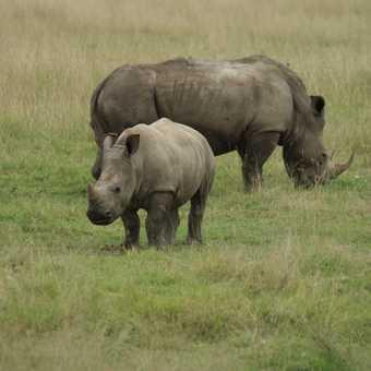 Rhino, Lake Nakuru NP