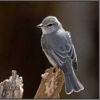 Garden Warbler - Edeni
