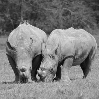 White Rhino - mother & son