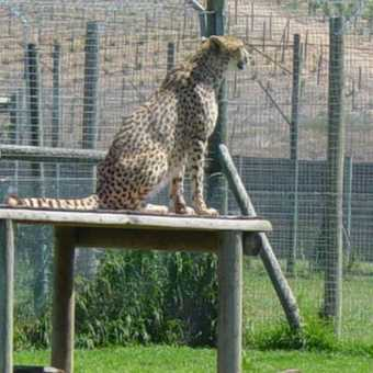 cheetah sanctuary at spier.south africa