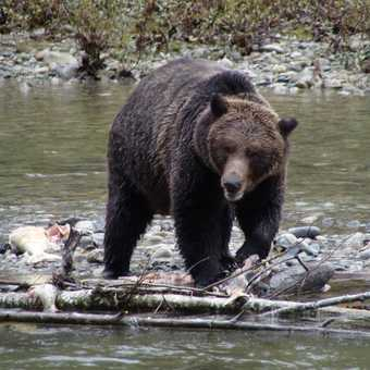 Male Grizzly
