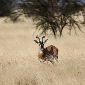 Soemmerring's Gazelle - Awash NP