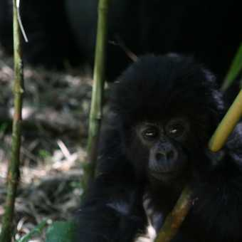 Gorilla Baby 2