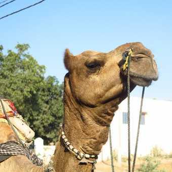 camel, Pushkar