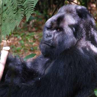 Silverback, Hirwa Group, Rwanda