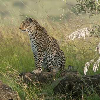 Leopard cub looking at mum