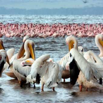 Pelicans & flamingos - Lake Nakuru