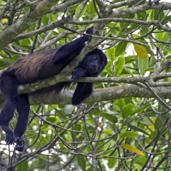 Brown howler monkey hanging around, takiing things easy. Pura vida.