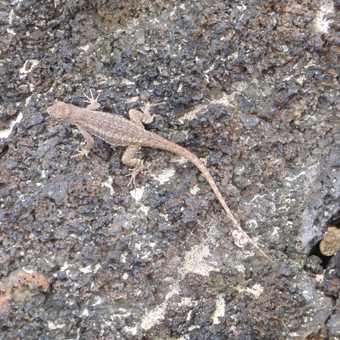 z little lava lizard