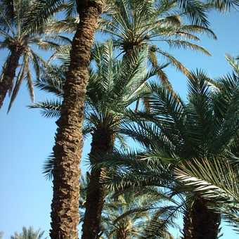 Camel's back view of the date palms